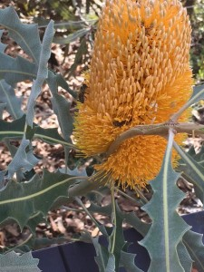 This photo, taken a few weeks ago, shows a bee foraging on some Banksia, showing us that there are still opportunities for food about for the bees even this late time in the season.