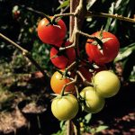 Mollys cherry tomatoes 2